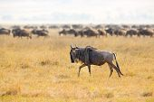 picture of wildebeest  - The great african plains with grass - JPG