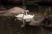 picture of black swan  - Pair of Swans on Black Background - JPG