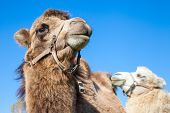 stock photo of dromedaries  - couple of cute dromedary camels on blue sky background - JPG