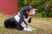 stock photo of basset hound  - single basset hound purebred dog on backyard - JPG