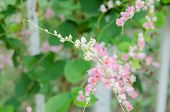 stock photo of confederation  - Pink Confederate vine blooming in the garden; Coral vine; Mexican coral vine; Mexican creeper; Queen