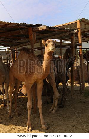Camels At Doha Market