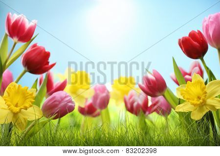 Spring daffodil and tulips in the field