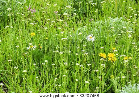 Green Spring Lawn With Wildflowers