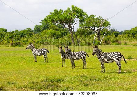 Zebra's Tribe In The Green Grass