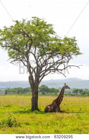 Giraffe Lays Under The Tree In Savanna