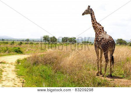 Giraffe Goes Near The Road In African Savanna