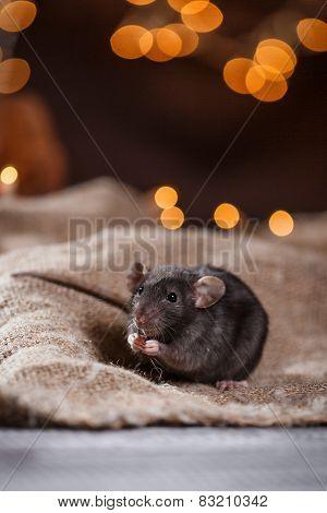 Brown  Domestic Rat
