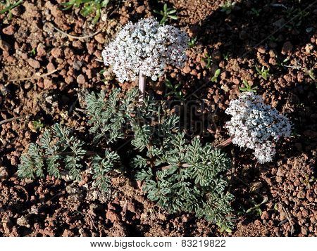 Canby's Desert Parsley - Lomatium canbyi