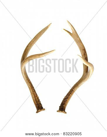 Blacktailed or Mule Deer (odocoilus hemionus) antlers isolated on white