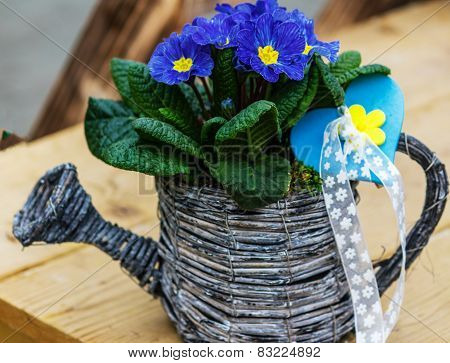 Blue Primrose in small wicker basket