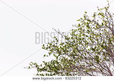 Terminalia Catappa Tree Isolated