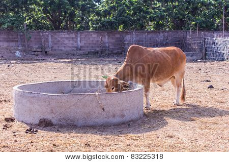 Thai Cows Eating In The Farm