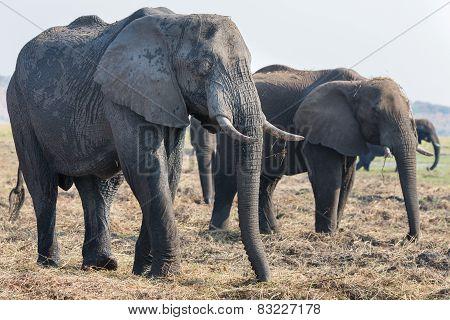 Elephants feeding in Chobe national Park, Botswanna