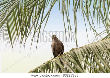 Black kite (Mulvus Migrant) grooming at down, Dakar, Senegal