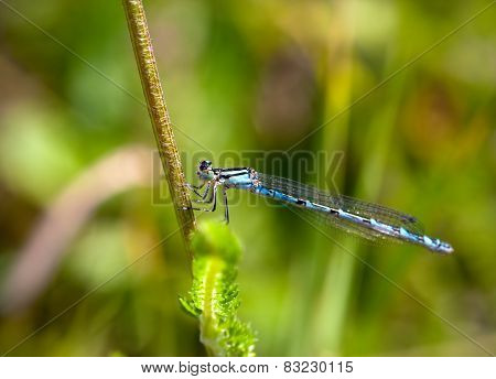 Blue Damselfly