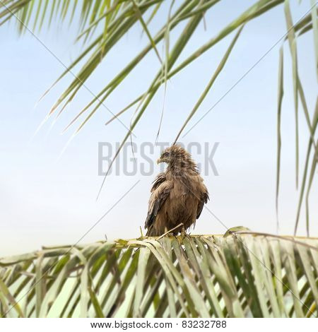 Black kite (Mulvus Migrant) smoothing its feathers at dawn, Dakar, Senegal