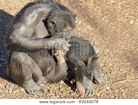 Chimpazee mother and baby