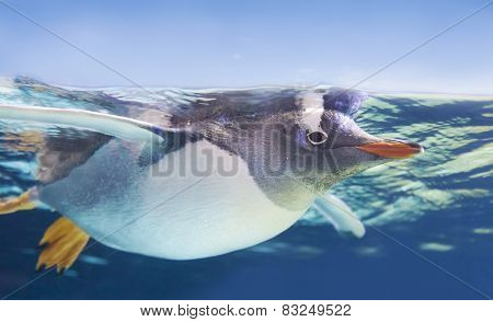 Gentoo penguin swimming underwater