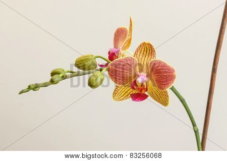Orchid With Stick