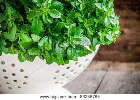 Fresh Organic Basil In White Colander Closeup