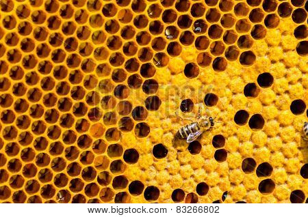 working bees on honey cells, closeup