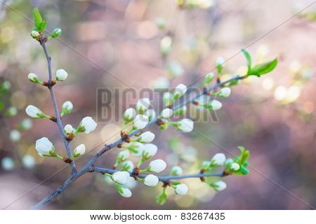 Beautiful Branch Of Plum With Buds On Pink Blur Background