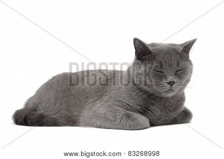 Cat Breed Scottish-straight (age 1 Year 3 Months) Sleeping On A White Background