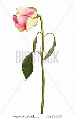 Faded Rose On A Dry Stalk With Leaves