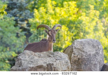 Ibex behind a rock in a forest