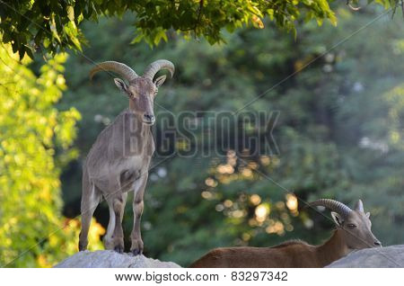 Nubian Ibexes on a top of a rock