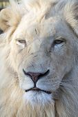 foto of african lion  - White South African lion  - JPG