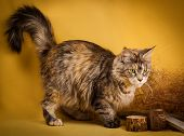 stock photo of puss  - tabby maine coon cat on yellow  background - JPG