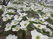 image of dogwood  - Classic white dogwood flowers on mature branches fill the picture frame from focused in the foreground to blurred in the background - JPG