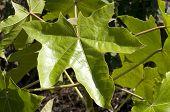 stock photo of kukui nut  - Kukui tree or candlenut tree leaf - JPG