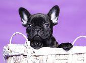 picture of french bulldog puppy  - French Bulldog puppy - JPG