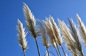 foto of pampas grass  - White pampas grass swaying in the wind under a clear blue sky - JPG