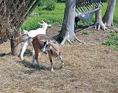 stock photo of goat horns  - Young sheep and white horned goat on the farm - JPG