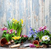 pic of primrose  - Gardening tools and flowers in the garden - JPG