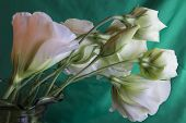 picture of curvy  - The delicate elegance of the curvy white Lisianthus - JPG