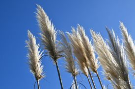 pic of pampa  - White pampas grass swaying in the wind under a clear blue sky - JPG