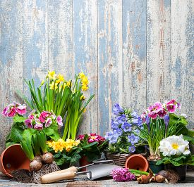 image of daffodils  - Gardening tools and flowers in the garden - JPG