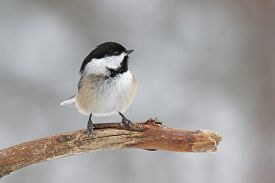 stock photo of chickadee  - A cute little black-capped chickadee (Poecile atricapillus) perching on a branch. ** Note: Visible grain at 100%, best at smaller sizes - JPG