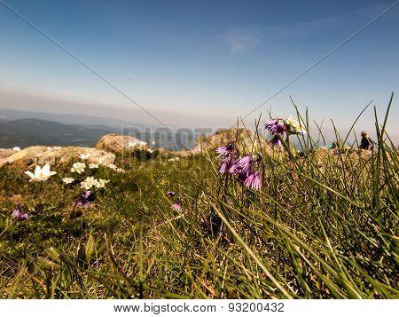 Mountain Meadow Full Of Flowers, Babiogorski National Park