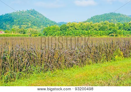 Image Of Rice Field And Clear Blue Sky For Background Usage .