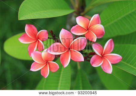 Exotic Frangipani Flower