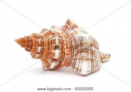 closeup of a nice spired conch on a white background