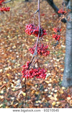 Red Bunches Of Rowan Berries In Late Autumn