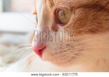 Peaceful ginger cat