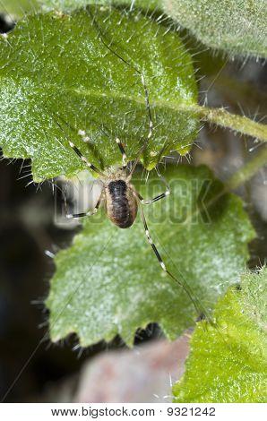 Desert Harvestman Spider (eurybunus Sp.) In Ash Meadows National Wildlife Refuge, Nevada